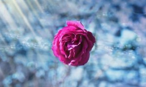 Focus On The Rose